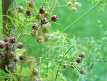 Macro Coriander seeds on plant Royalty Free Stock Photo