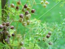Macro Coriander seeds on plant Royalty Free Stock Photo