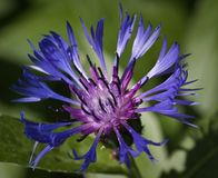 Macro of cornflower (Centaurea cyanus) Stock Photography