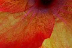 Macro of Corolla of Hibiscus flower Royalty Free Stock Photos