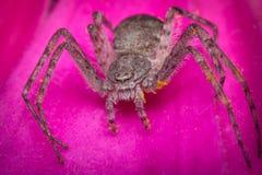 Macro corriente de la araña del cangrejo Fotografía de archivo libre de regalías