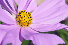 Macro of cosmos flower royalty free stock image