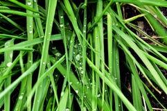 macro couvert de rosée de l'herbe Haut-recherche photo libre de droits