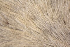 Macro Cow Hide 2. Macro photo of white cow hair royalty free stock image