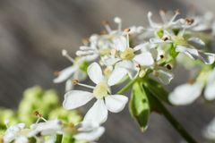 Macro of cow parsley flowers Royalty Free Stock Photography