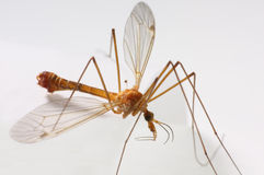 Macro of a Crane Fly. / Big Mosquito Royalty Free Stock Image