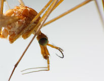 Macro of a Crane Fly. / Big Mosquito Stock Photo