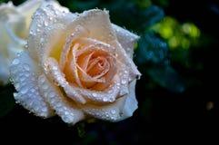 Free Macro. Cream Rose In Dew Stock Images - 47359064