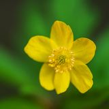 Macro of creeping buttercup flower Stock Images