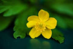 Macro of creeping buttercup flower Stock Photography