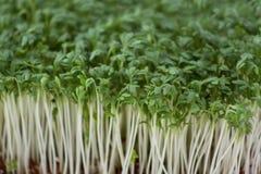 Macro of cress. Macro shot of fresh garden cress leaves Royalty Free Stock Photography