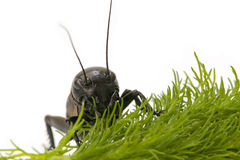Macro Cricket. Close-up of Black cricket on white background Royalty Free Stock Photos