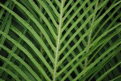 Macro of Crisp Green Fern. A macro shot of a green fern in a botanical gardens Royalty Free Stock Photography
