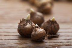 Macro crocus bulbs Stock Images