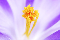 Crocus Pistil Royalty Free Stock Photos