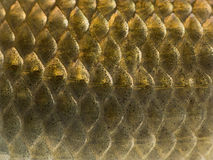 Macro of a Crucian carp skin, Carassius carassius Royalty Free Stock Photos