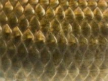 Macro of a Crucian carp skin, Carassius carassius royalty free stock photos