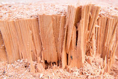 Macro of a cut down cedar tree Royalty Free Stock Images