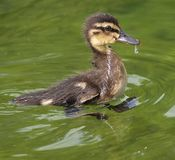 Macro of a cute baby duck chick. In the water royalty free stock photography