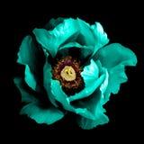 Macro cyan de fleur de pivoine de chrome foncé surréaliste d'isolement Photographie stock