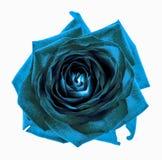 Macro cyan de fleur de rose de chrome foncé surréaliste d'isolement Photos libres de droits