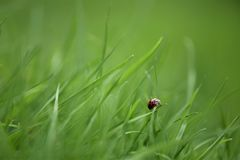 Macro début de la matinée pris de photographie de coccinelle par image sur la lame du jardin rentré d'herbe verte sur la côte sud Images libres de droits