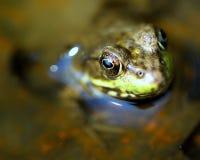 Macro détail d'oeil de grenouille Image libre de droits