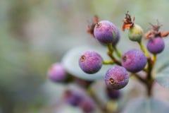 Macro détail des baies vertes et pourpres d'une plante tropicale Photographie stock libre de droits