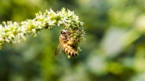 Macro d'abeille avec les fleurs fraîches Images stock