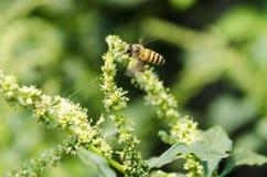Macro d'abeille avec les fleurs fraîches Photo libre de droits