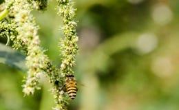 Macro d'abeille avec les fleurs fraîches Photo stock