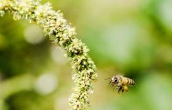 Macro d'abeille avec les fleurs fraîches Photos libres de droits