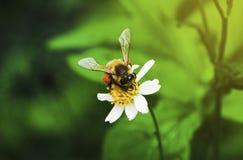 Macro d'abeille avec les fleurs fraîches Photos stock