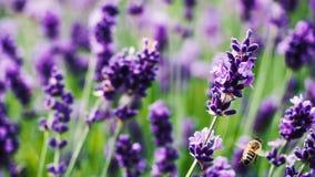 Macro d'abeille sur un champ de Lavanda Photographie stock libre de droits