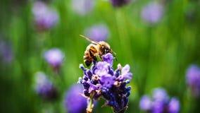 Macro d'abeille sur une usine de Lavanda Photographie stock