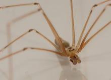 Macro d'araignée de cave de Longbodied images stock