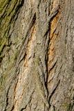Macro d'arbre de tilleul avec les détails fins Images libres de droits