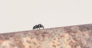 Macro d'audax sautant audacieux de Phidippus d'araignée sur la barrière Post images stock