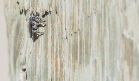Macro d'audax sautant audacieux de Phidippus d'araignée sur la barrière Post photos libres de droits