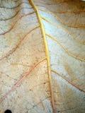Macro d'autunno del foglio Fotografie Stock Libere da Diritti