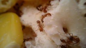 Macro d'essaim de fourmis de feu, laps de temps banque de vidéos