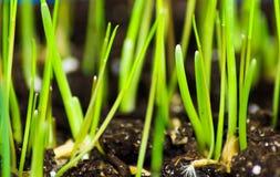 Macro d'herbe lumineuse verte de chat Photos stock