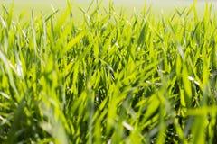 Macro d'herbe verte en soleil. Image stock