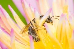 Macro d'insecte d'abeille Photos stock