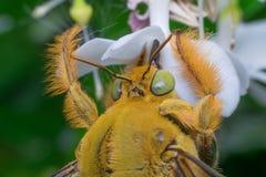 Macro d'insecte d'abeille (bourdon) Photo libre de droits