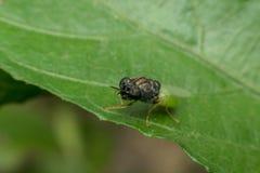 Macro d'insecte de mouche Image libre de droits