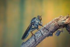 Macro d'insecte de mouche (mouche de voleur, Asilidae, prédateurs) Image libre de droits