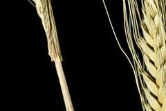 Macro 3 d'oreille de blé Images stock