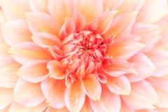 Macro d'un dahlia de rose Photos stock