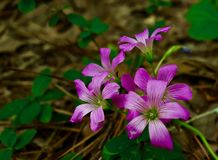 Macro d'un groupe de fleurs pourpres images stock